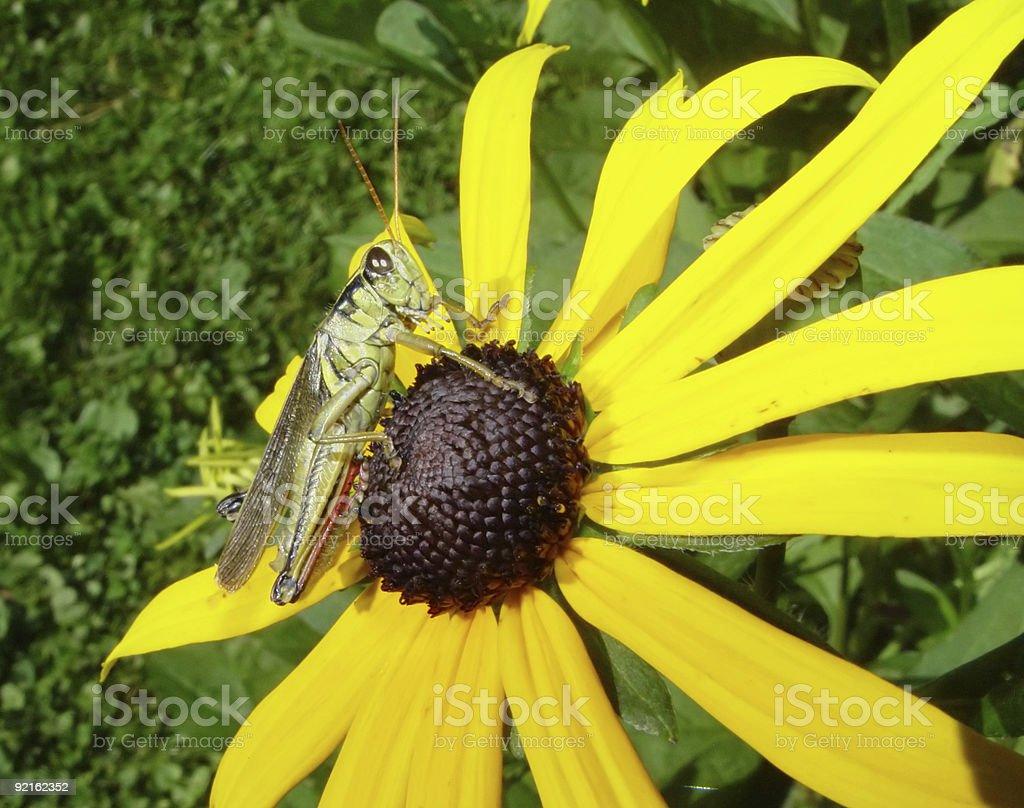 Grasshopper on Flower royalty-free stock photo