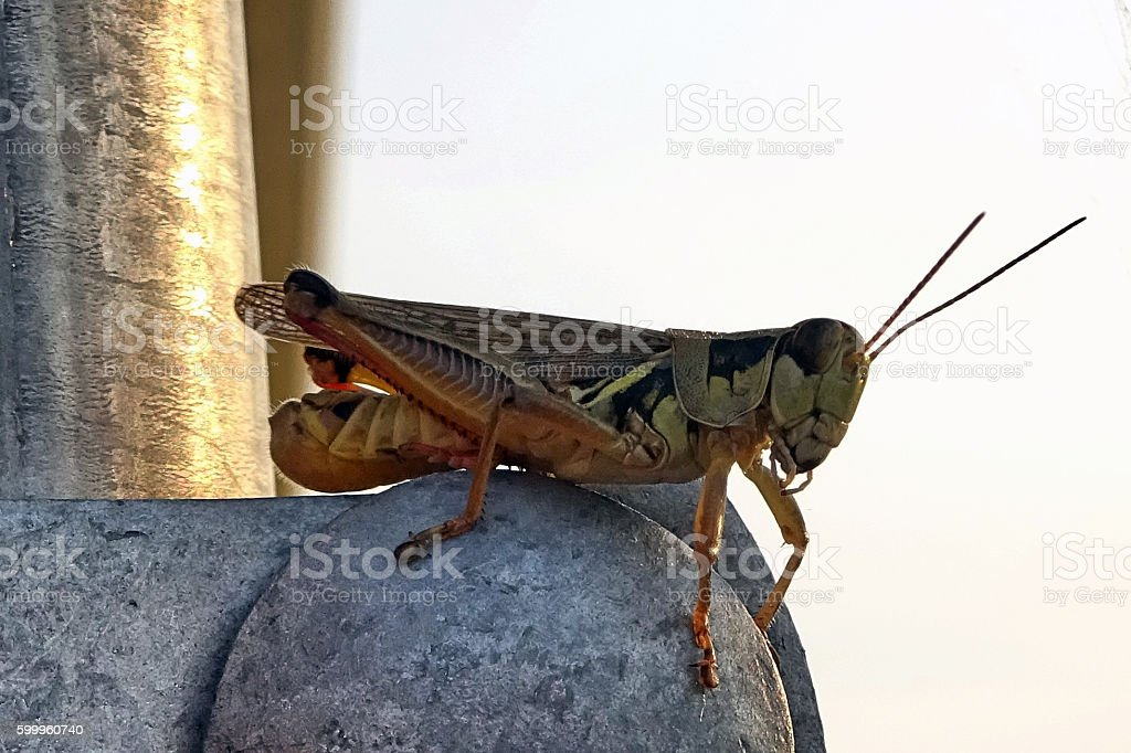 Grasshopper on Garden Gate stock photo