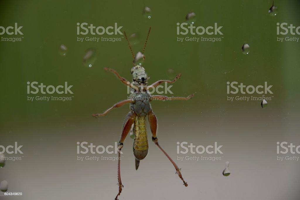 Grasshopper on Glass stock photo