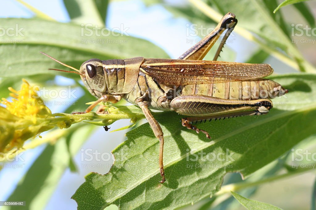 Grasshopper on goldenrod stock photo