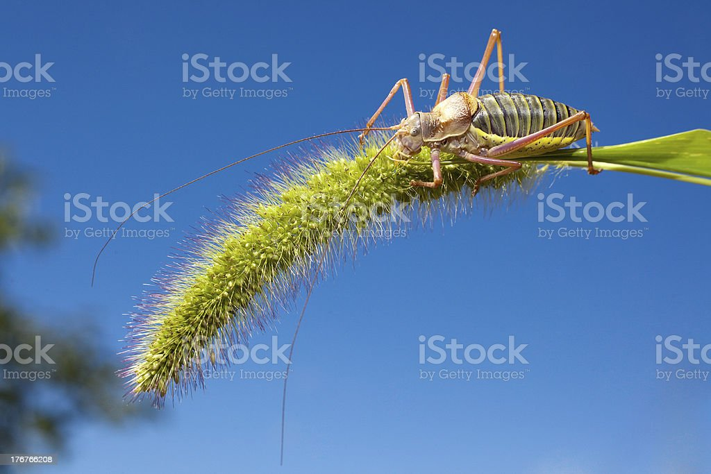 grasshopper on grass royalty-free stock photo