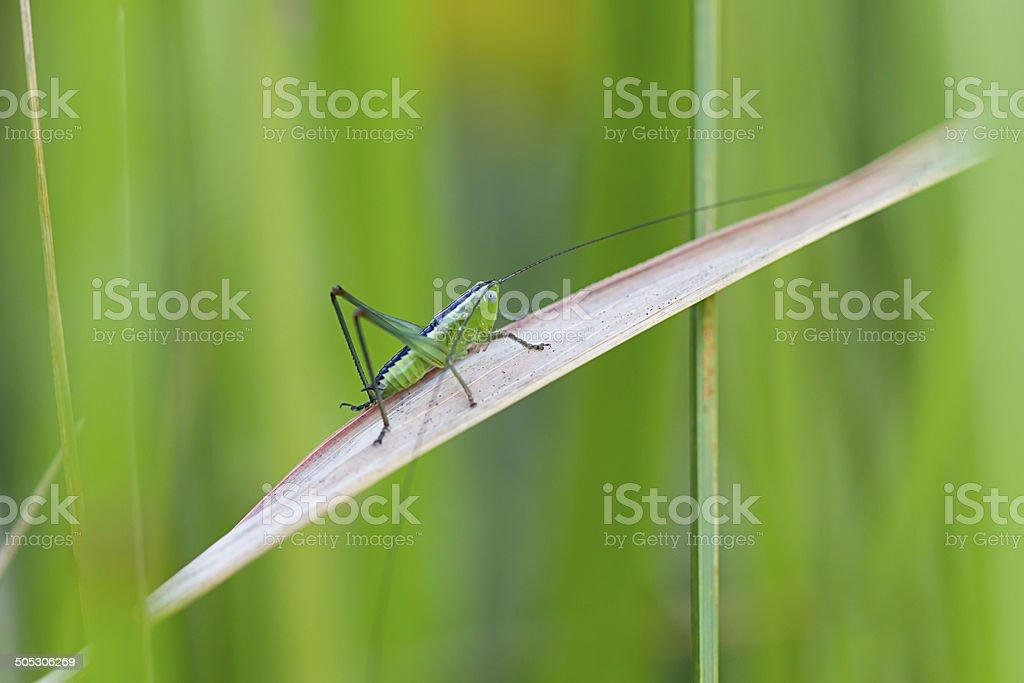 Grasshopper on grass stock photo