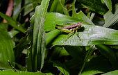 Grasshopper on green grass leaf