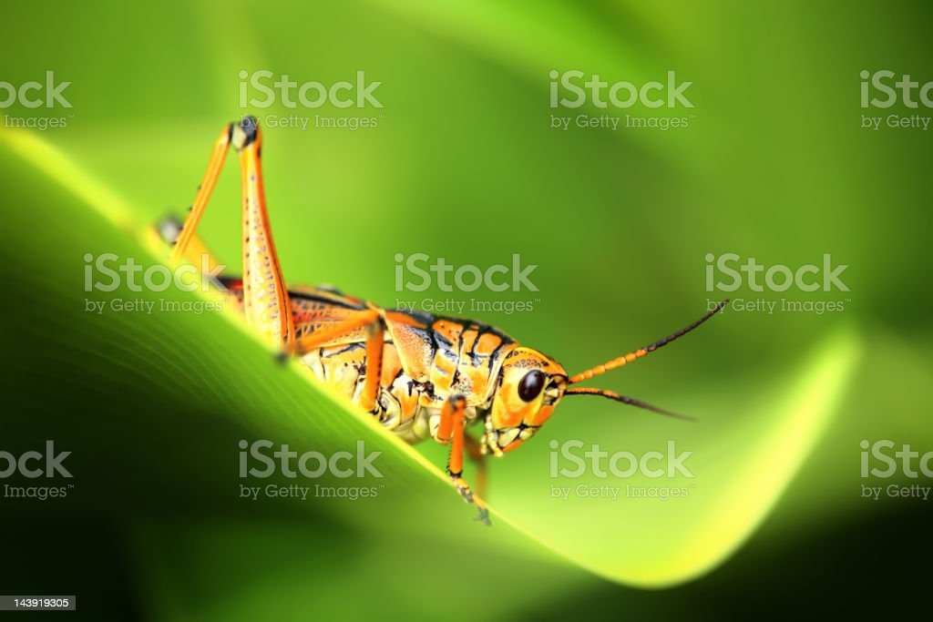 grasshopper on green leaf stock photo