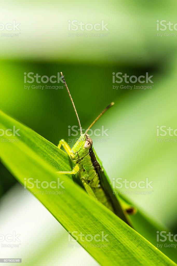Grasshopper on green leaf stock photo