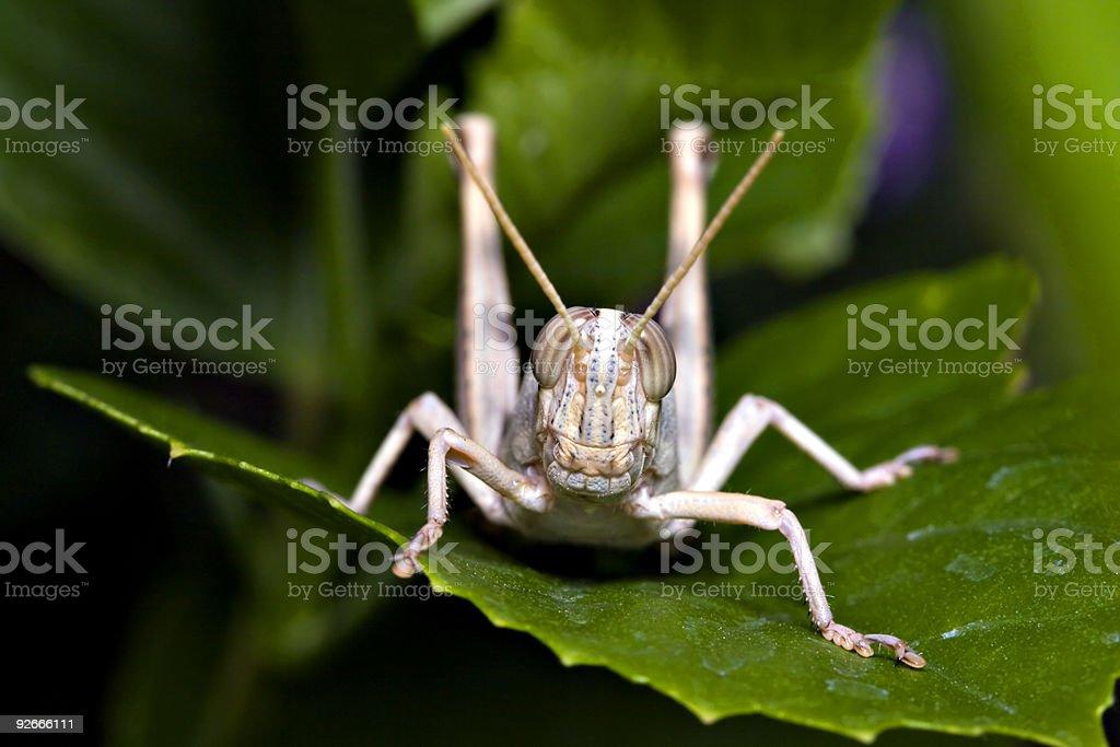 Grasshopper on Green Leaf royalty-free stock photo
