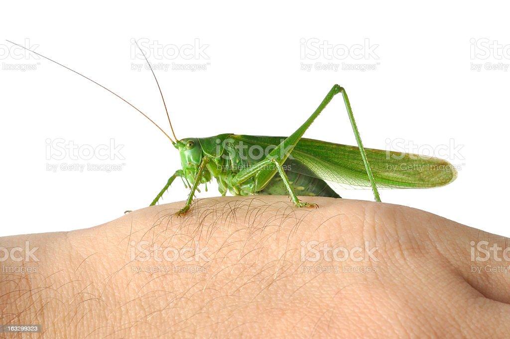 Grasshopper on  Hand royalty-free stock photo