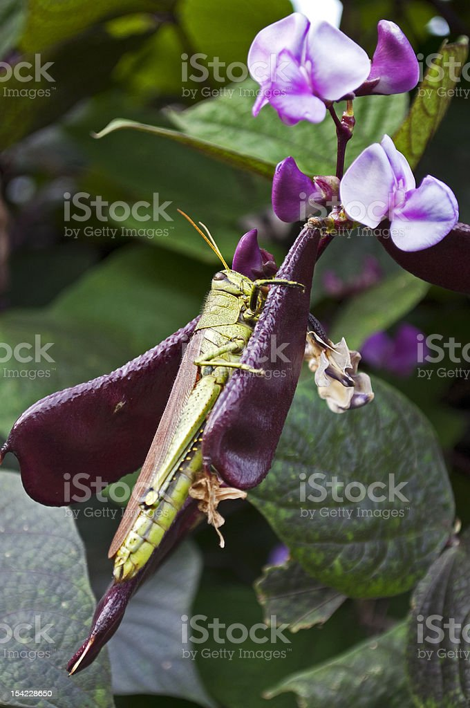 Grasshopper on Hyacinth Bean stock photo