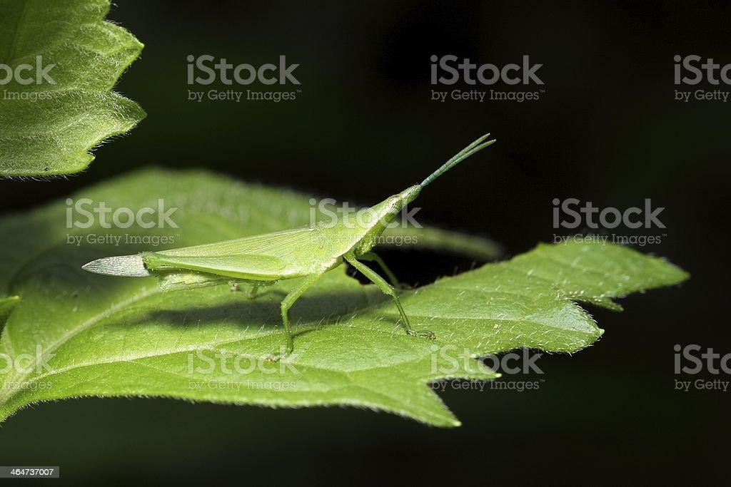 Grasshopper on leaf royalty-free stock photo