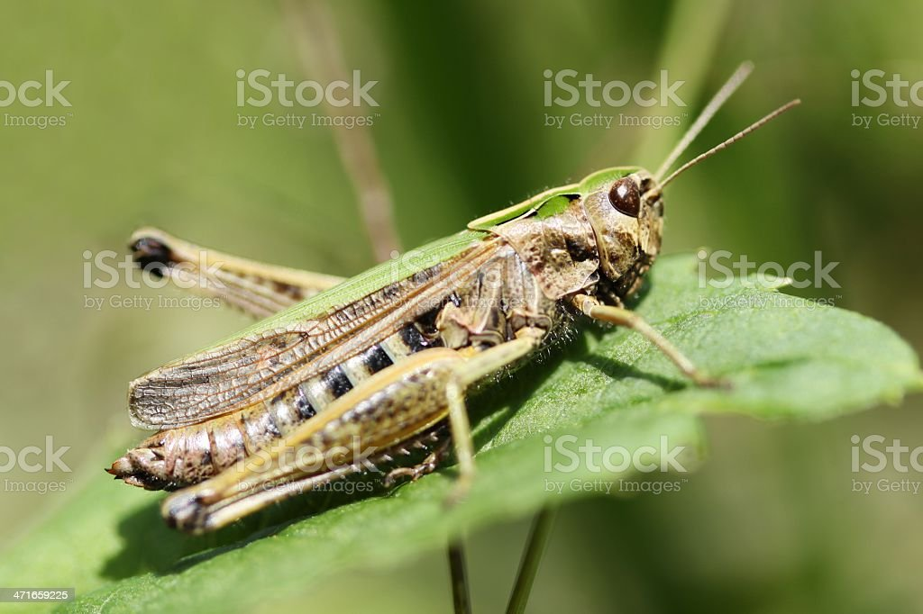 Grasshopper on leaf royalty-free stock photo