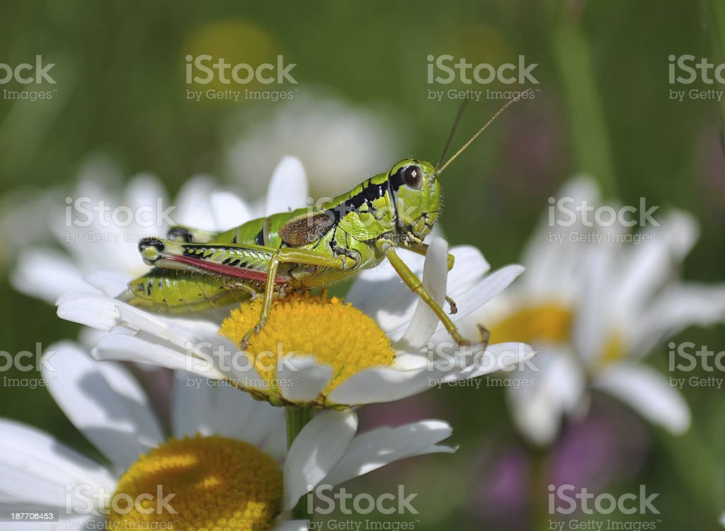 grasshopper on margaret royalty-free stock photo