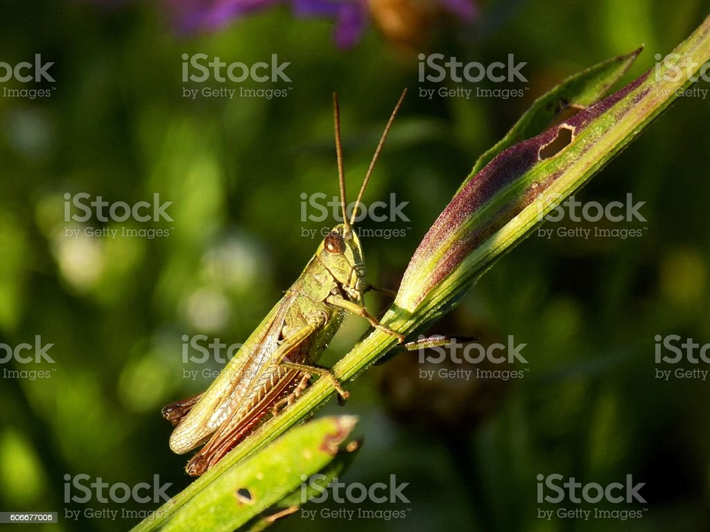 Grasshopper on meadow plant in wild nature during spring stock photo