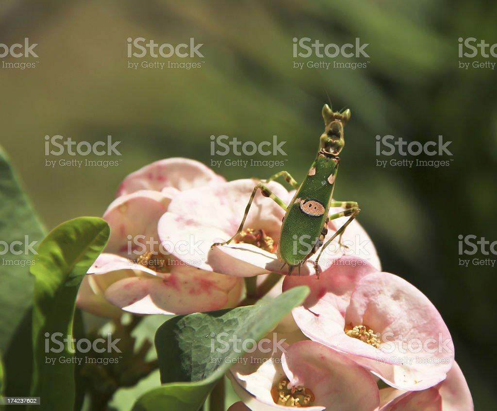 Grasshopper  on pink flower royalty-free stock photo