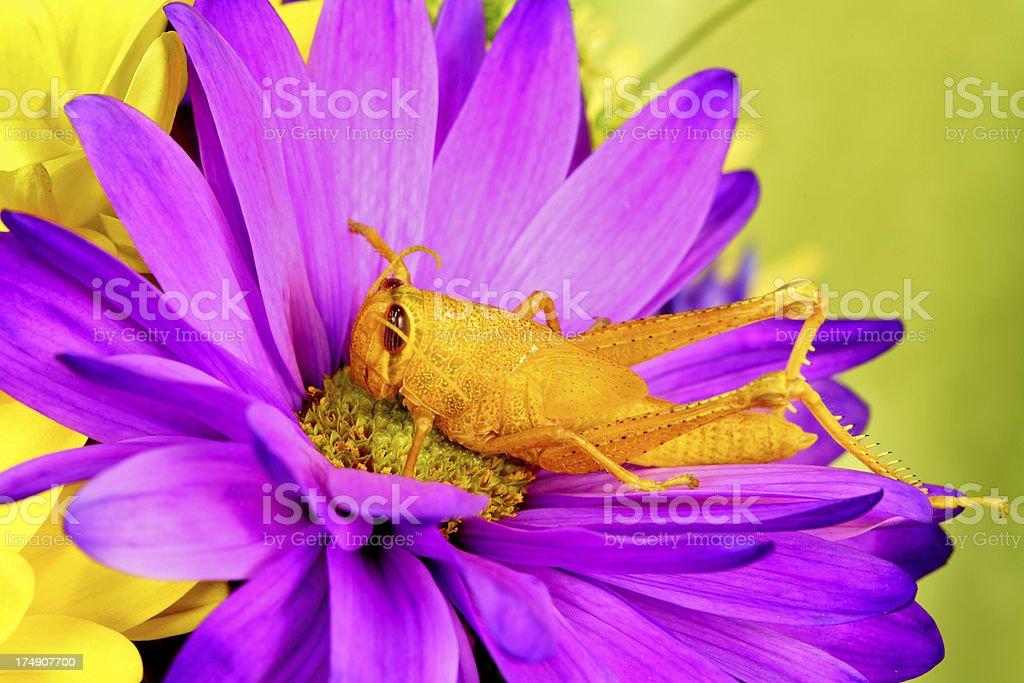 Grasshopper on Purple Daisy royalty-free stock photo