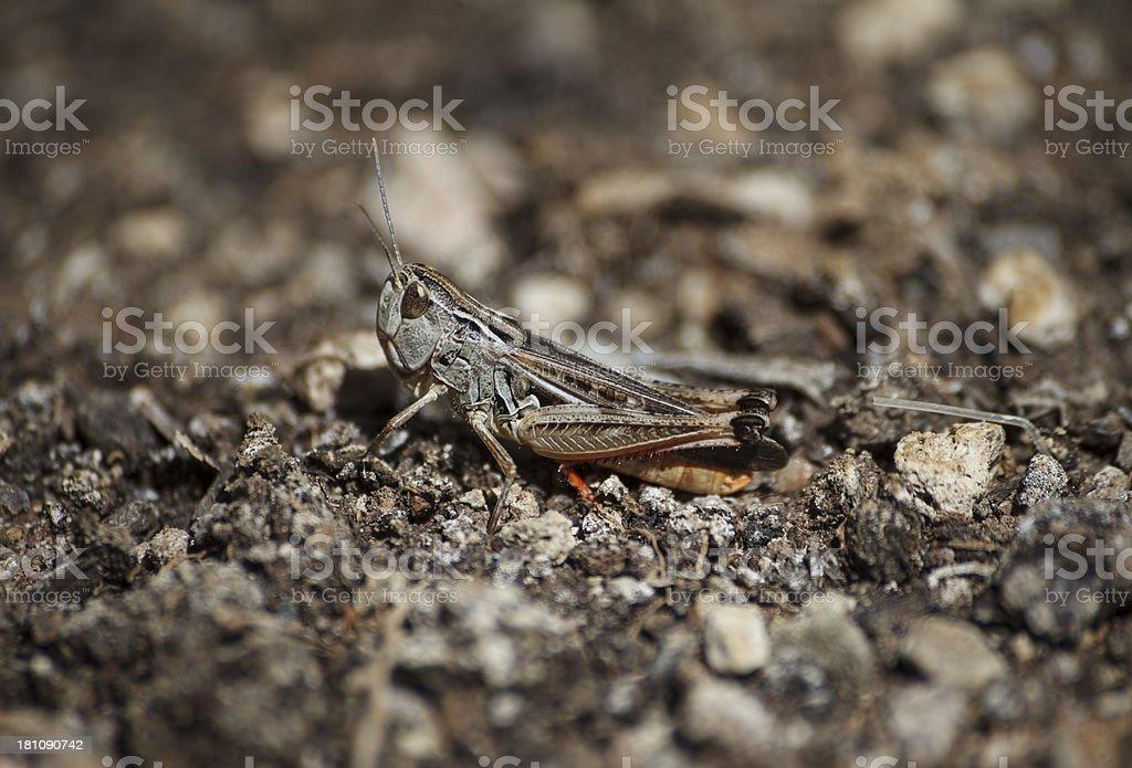 grasshopper on soil royalty-free stock photo