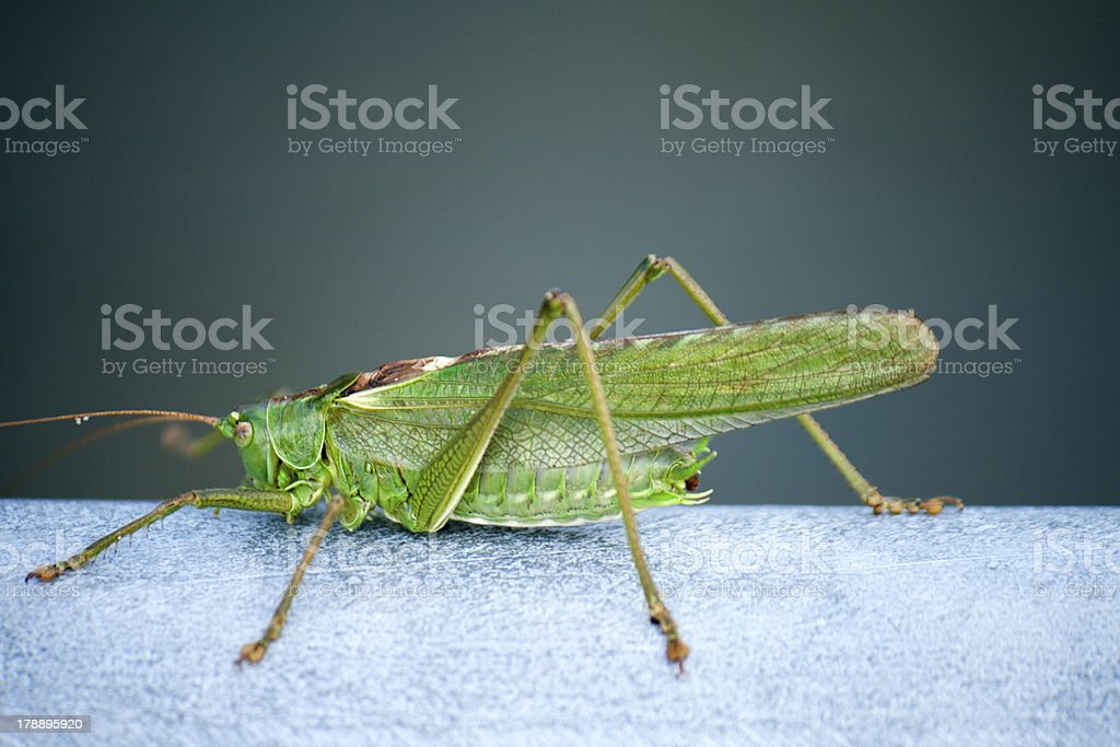 Grasshopper on steel royalty-free stock photo
