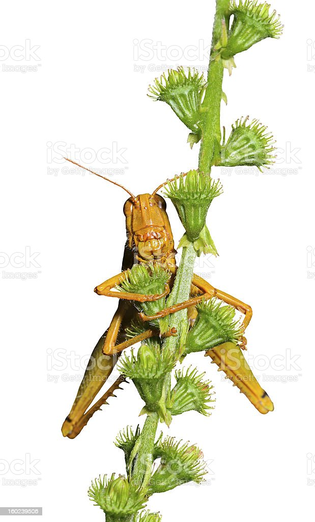 Grasshopper on stem royalty-free stock photo