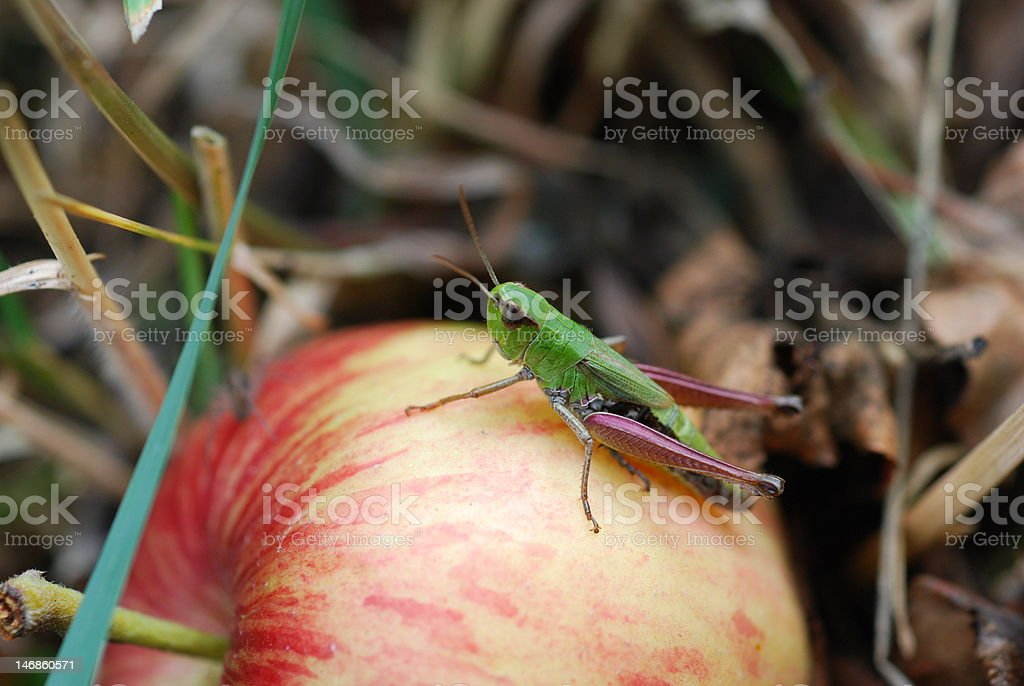 Grasshopper on the apple royalty-free stock photo