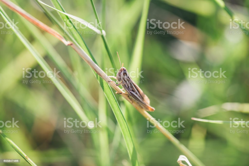 Grasshopper on the field stock photo