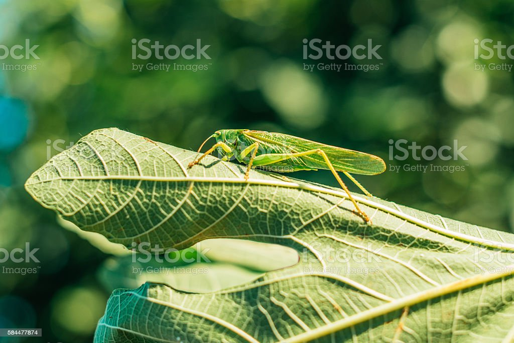 Grasshopper on the fig tree leaf stock photo
