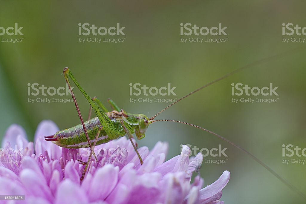 grasshopper on the flower royalty-free stock photo