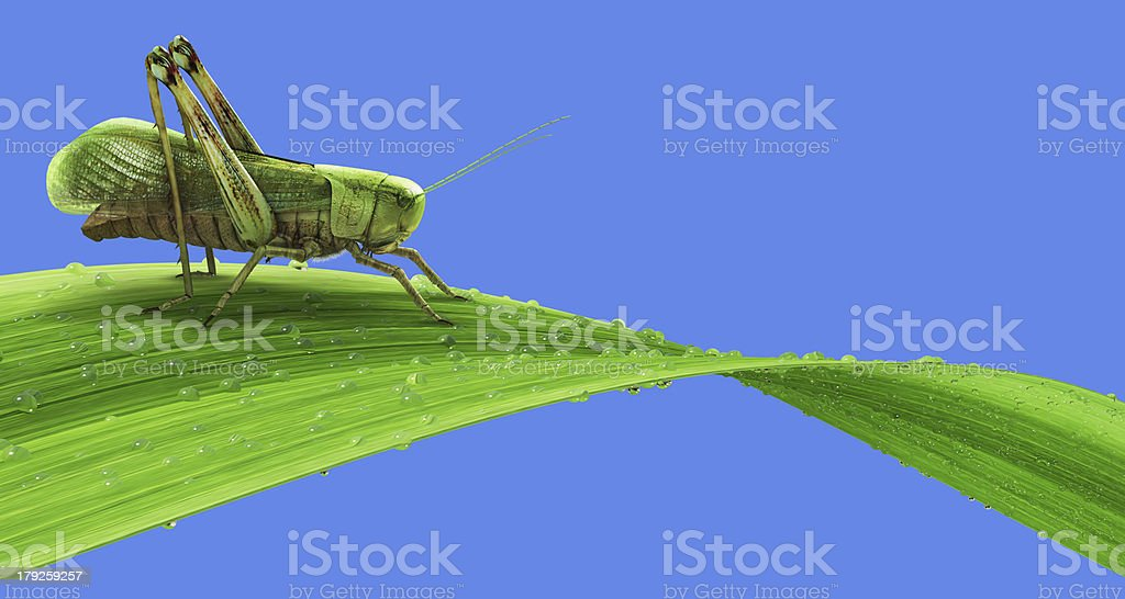 Grasshopper on the grass isolated royalty-free stock photo