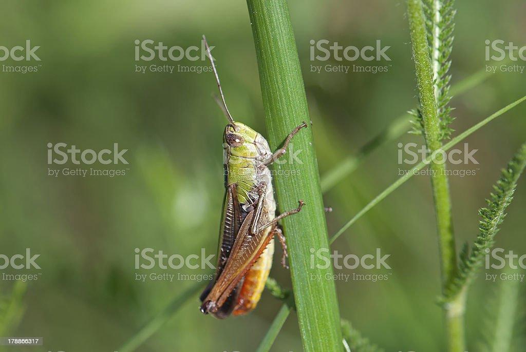 Grasshopper on the grass (Chorthippus paralellus) royalty-free stock photo
