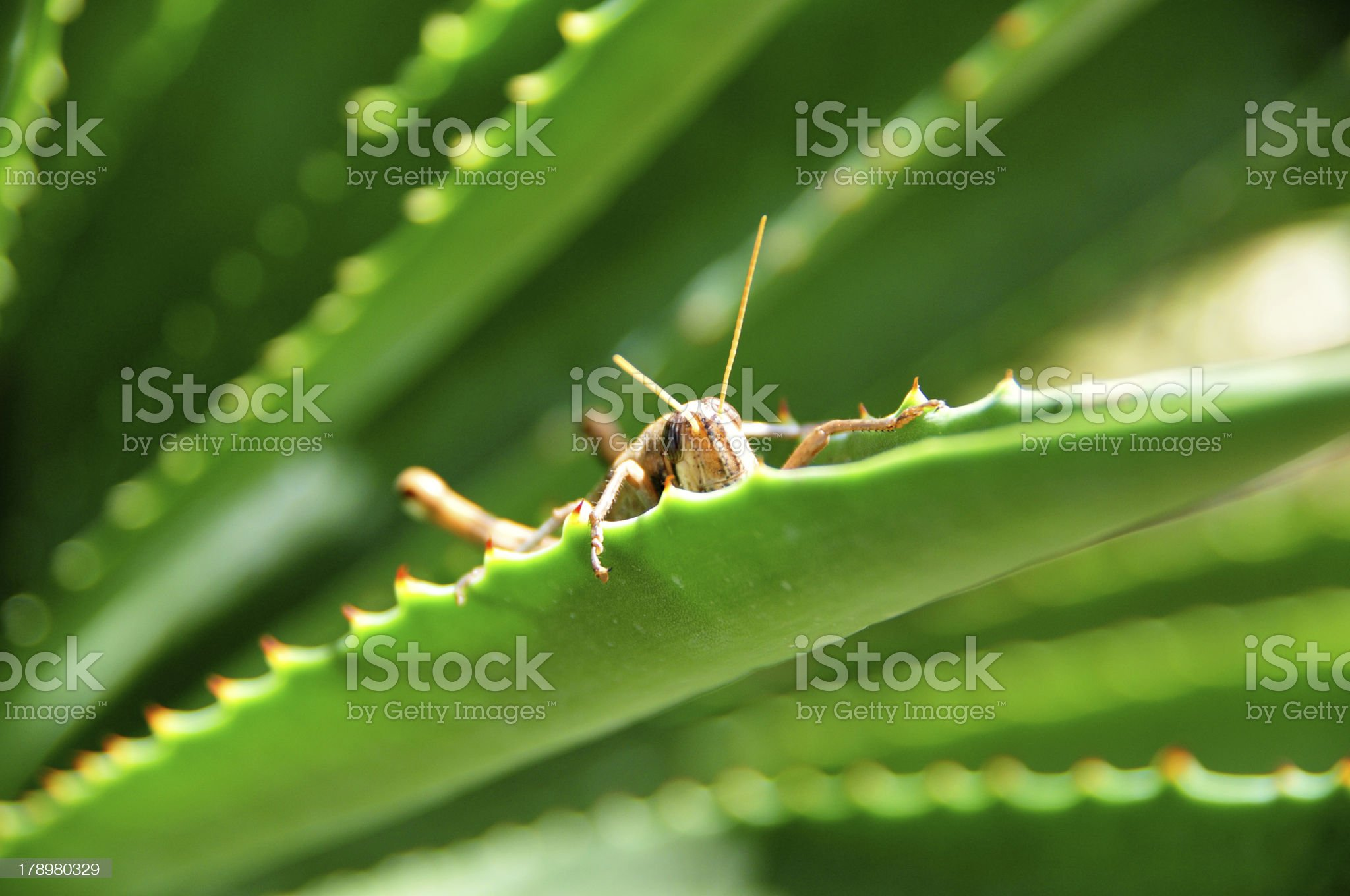 grasshopper on the grass royalty-free stock photo