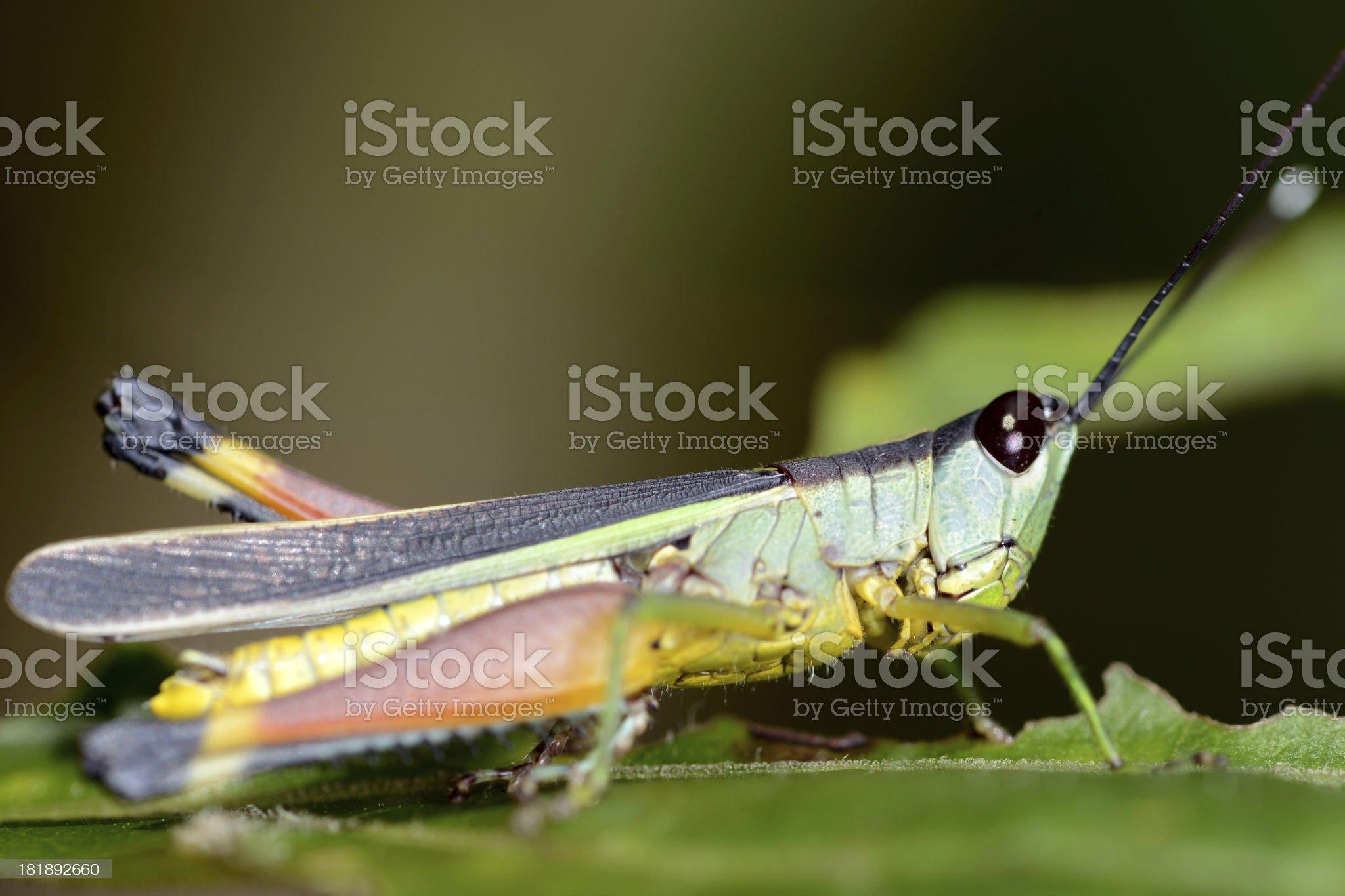 Grasshopper on the leaf royalty-free stock photo