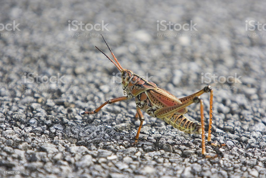 Grasshopper on the road royalty-free stock photo