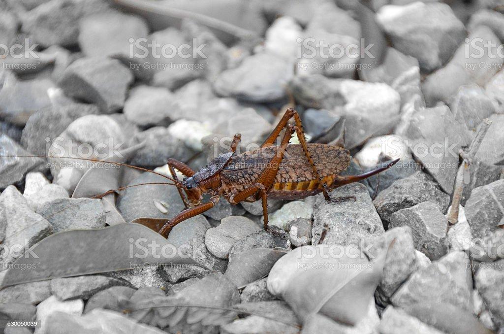 grasshopper on the stones stock photo