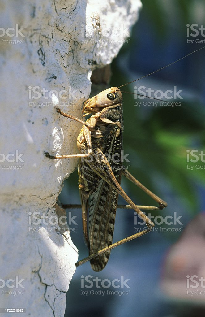 Grasshopper on wall royalty-free stock photo