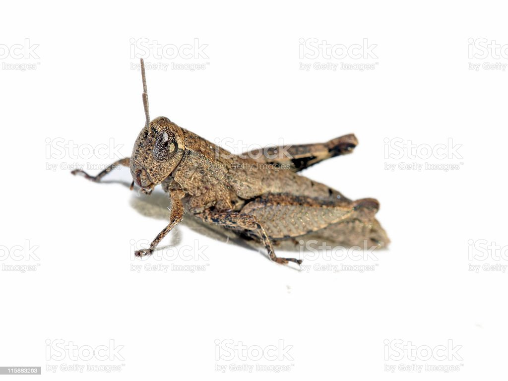 Grasshopper on white background royalty-free stock photo
