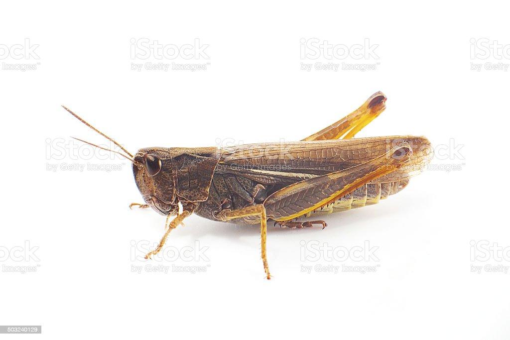 Grasshopper on white background stock photo