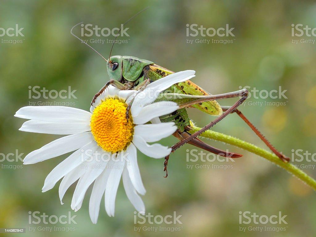 Grasshopper on white daisy stock photo