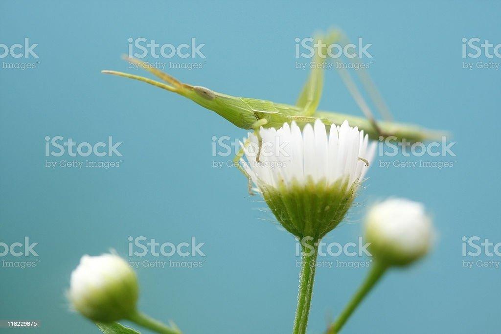 Grasshopper On white daisyflower royalty-free stock photo
