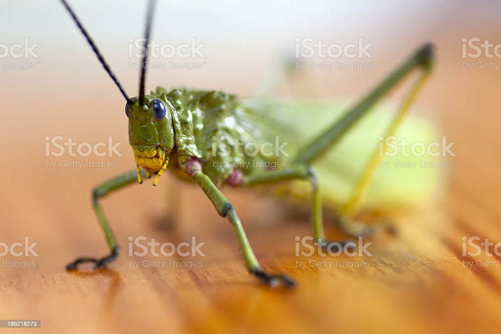Grasshopper or locust royalty-free stock photo