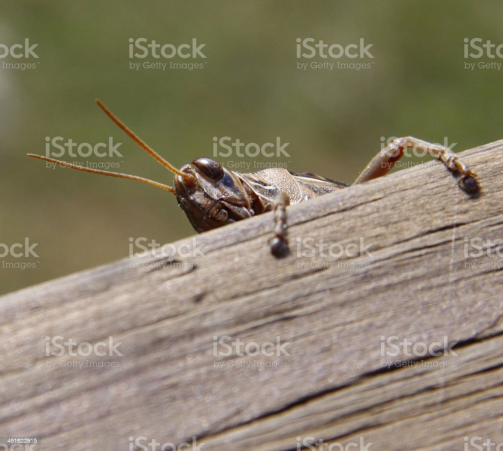 Grasshopper Peeking stock photo