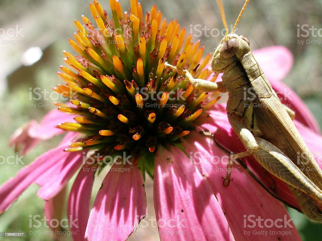 Grasshopper Perched royalty-free stock photo