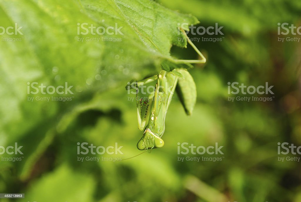 Grasshopper perching on a leaf royalty-free stock photo
