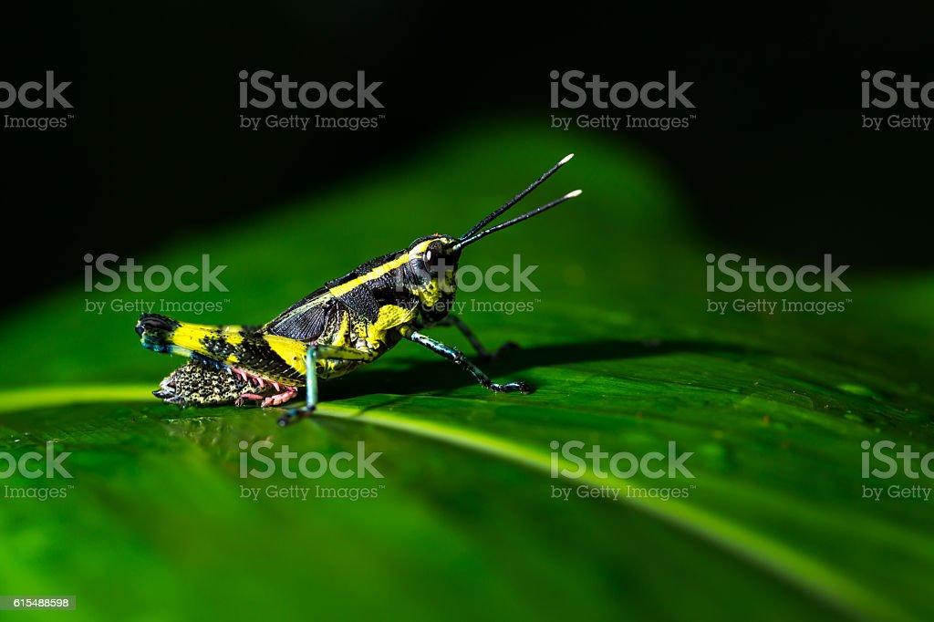 Grasshopper perching on a leaf stock photo