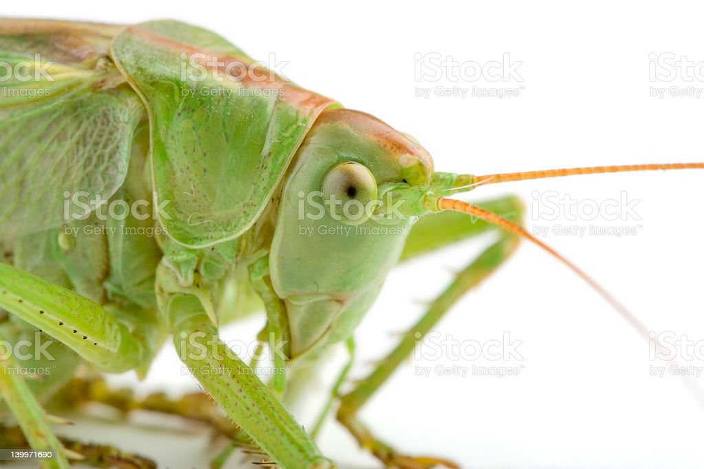 Grasshopper (clipping path included) royalty-free stock photo
