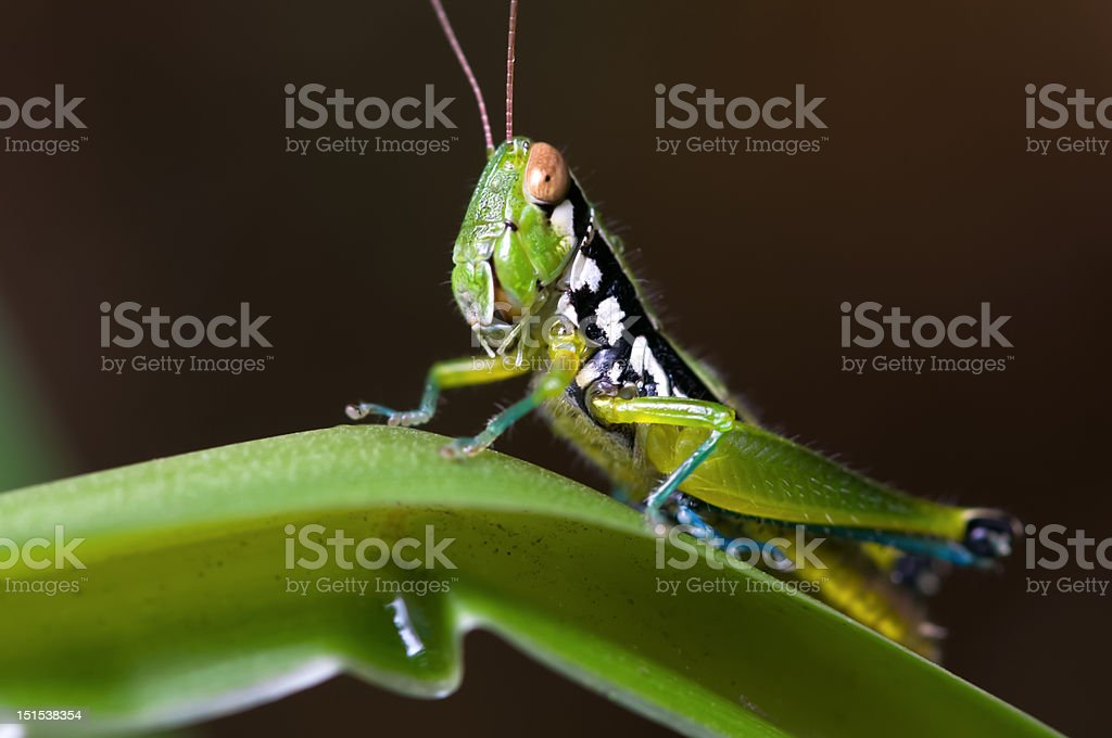 Grasshopper. royalty-free stock photo