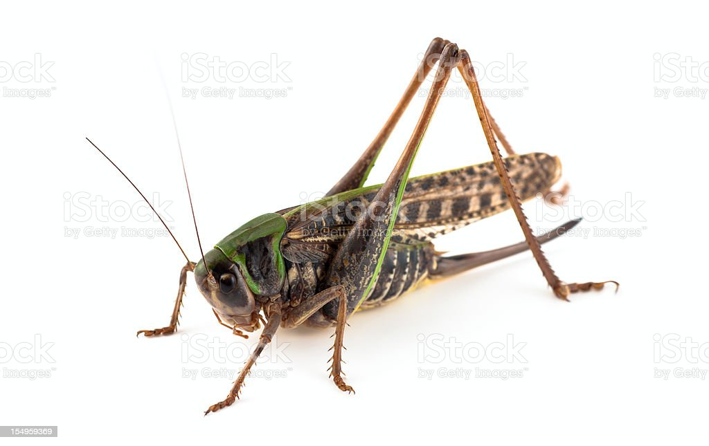 Grasshopper royalty-free stock photo