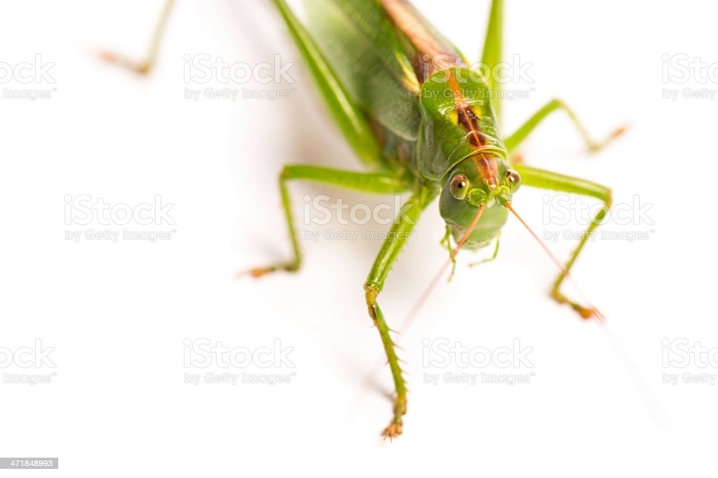grasshopper royalty-free stock photo