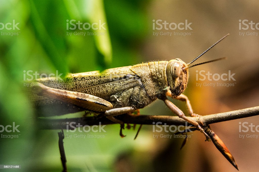 Grasshopper (shallow DOF) stock photo