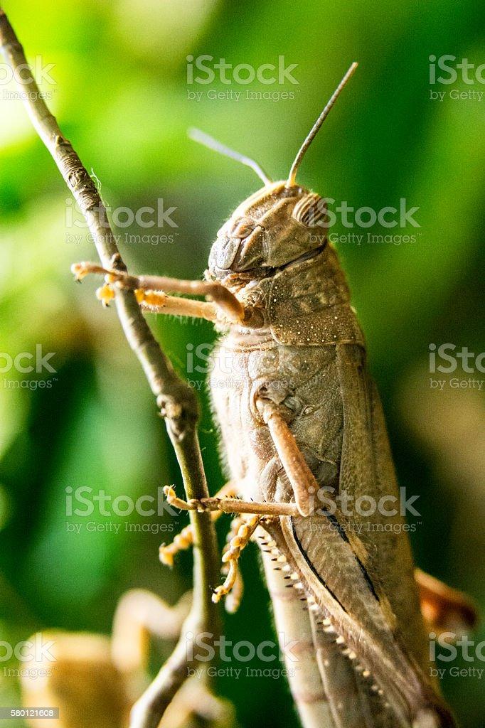 Grasshopper (shallow DOF) stock photo