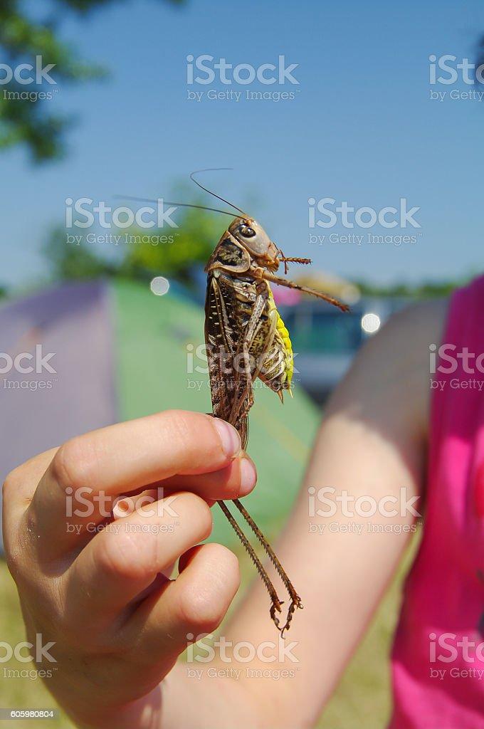 Grasshopper. stock photo