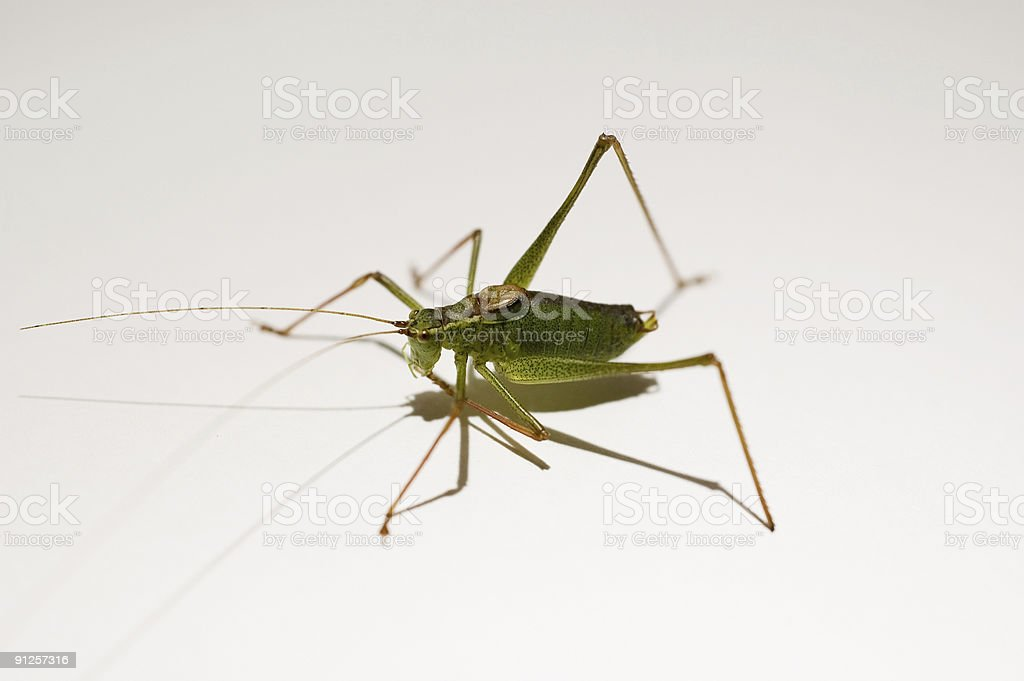 Grasshopper foto royalty-free