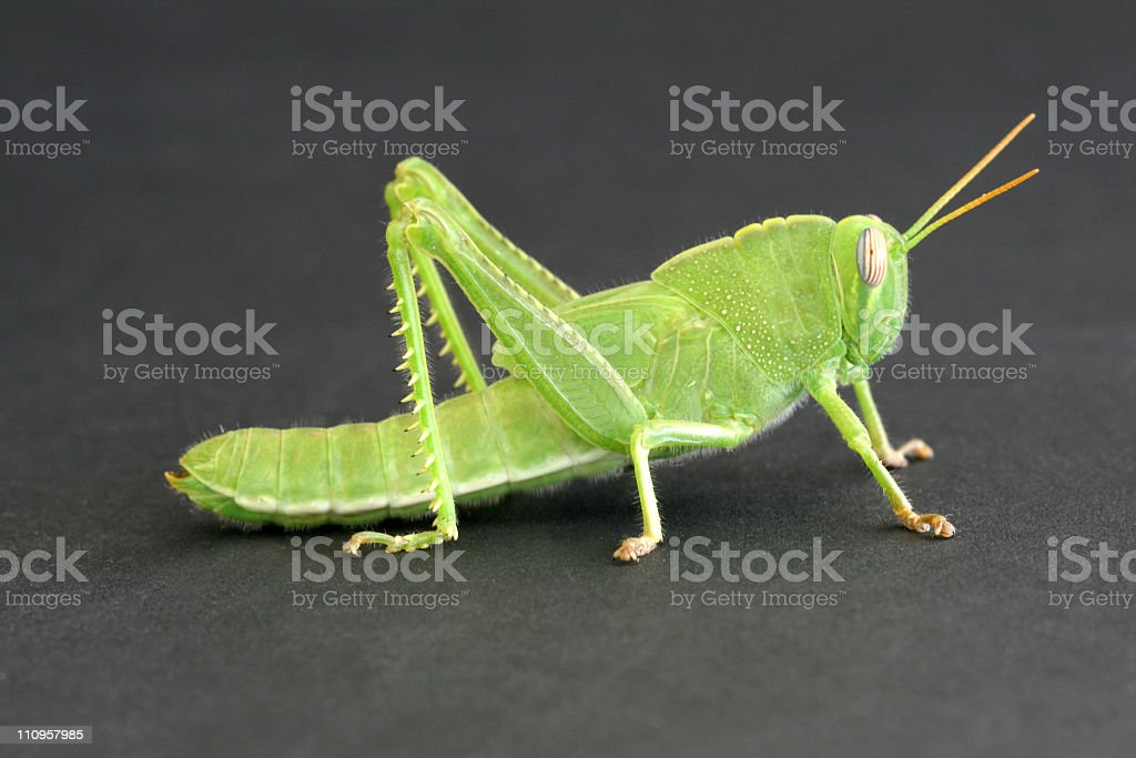 grasshopper portrait royalty-free stock photo